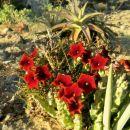 ... kaktus