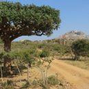 drevo frankinsens - smolo uporabljajo za kadilo