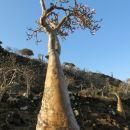 stekleničasto drevo  ...