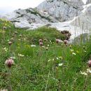 alpski planinšek