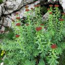 alpski rožni koren - rdeč ...