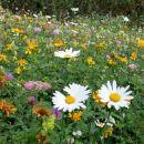 še vedno cvetoči travniki