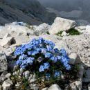 alpske spominčice