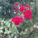 tu pa tam še kaka rožica