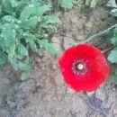 poglej no,še mak cveti