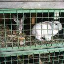 pečeni zajček :-))