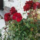 Zinkine rože