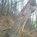 tu drevesa umirajo stoje