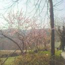 breskve že cvetijo