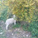 tak čiste ovčke pa še nisem videl