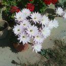 cvetoči kaktus pri Fedri