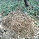 lepi kup mravljic