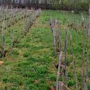 tu je vinograd še na kolje