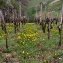 Ivanov vinograd,prva košnja se bliža
