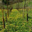 rumeni vinograd