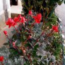 žametne vrtnice........