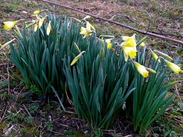 Narcise so začele cveteti,bo počasi prišla pomlad.