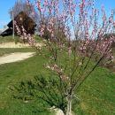 cvetoče breskve