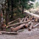 sečnja drevja v polnem zamahu