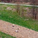 v Pohorju pa takole sadijo bukve