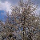 cvetoče češnje