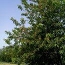 češnje zorijo