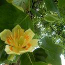 8. 6. 2021 tulipanovec