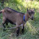 Koza na Hribu