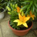 rumene lilije