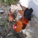 Štajerska kokoš in petelin