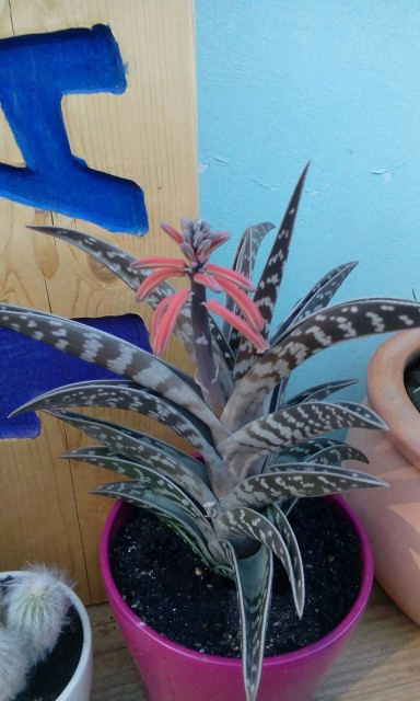 1y naša Aloe variegata.. (slikana ob močnem soncu, zato ni zelenkasta..)