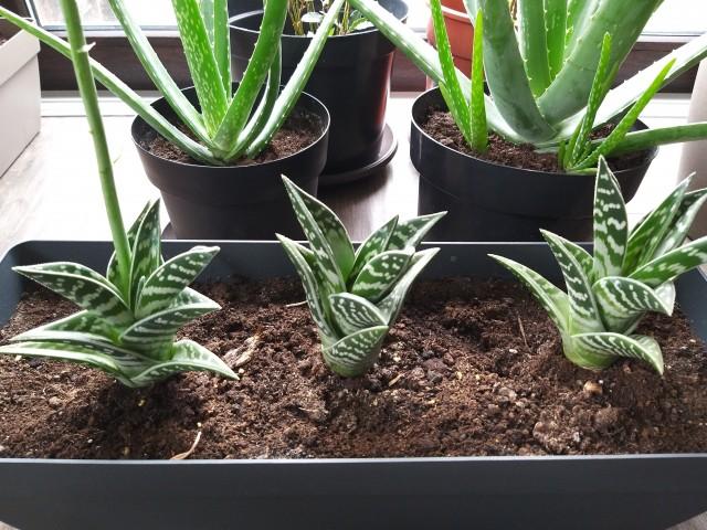 Aloe Variegata..