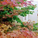 pahljačasti javor