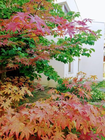 Pahljačasti javor - foto