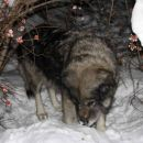 Pod snegom je vedno veliko zanimivih vonjav