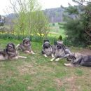 z leve: Ch. Šana ter Boni, Dena, Daja in Daša  Srednjedravske Foto: Franc Kiseljak