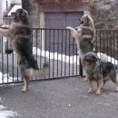 Reks, Bajka in Čopka dobro čuvajo domače dvorišče...