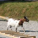 Tudi kozica je pokazala, da se lahko nauči agiliti