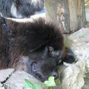 Mlada tibetanska mastifka
