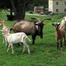 Na tem ranču bo čuvala drobnico druga kraševka v okviru projekta-kraševec čuvaj drobnice