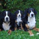 veliki švicarski planšarski pes