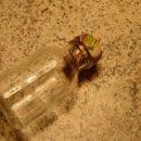 ...potisnemo ga v vrat neobdelane stekleničke, tako da se tesno prilega steni vratu. Pozo