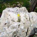 Malo življenjskega prostora rabi ta roža