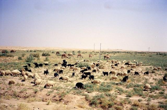 Pozimi v Iraku pada dež, polpuščava nekoliko ozeneni in živali imajo več hrane.