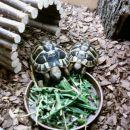 Gogi je trenutno največji  od mojih štirih Grških želv in pa edini samček.