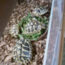 Vse štiri Grške želvice ob polni skledi Regrata.