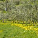 So oljke zelene, ker spet je toplo, se regrat v soncu blešči kot čisto zlato.
