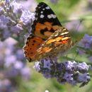 ...metulček...