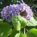 verjeli ali ne-tudi semptembra cveti španski bezeg