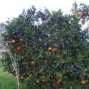 Pomaranče bodo kmalu.